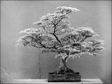 white-bonsai-bonsai-wallpaper