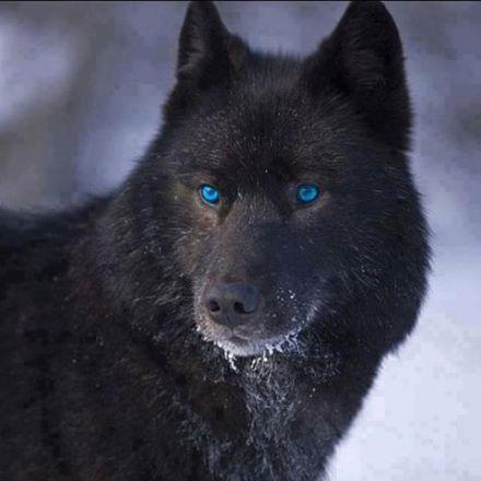 amazing-wolves-image-amazing-wolves-36734955-480-480